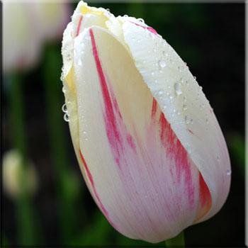 weiße tulpen online